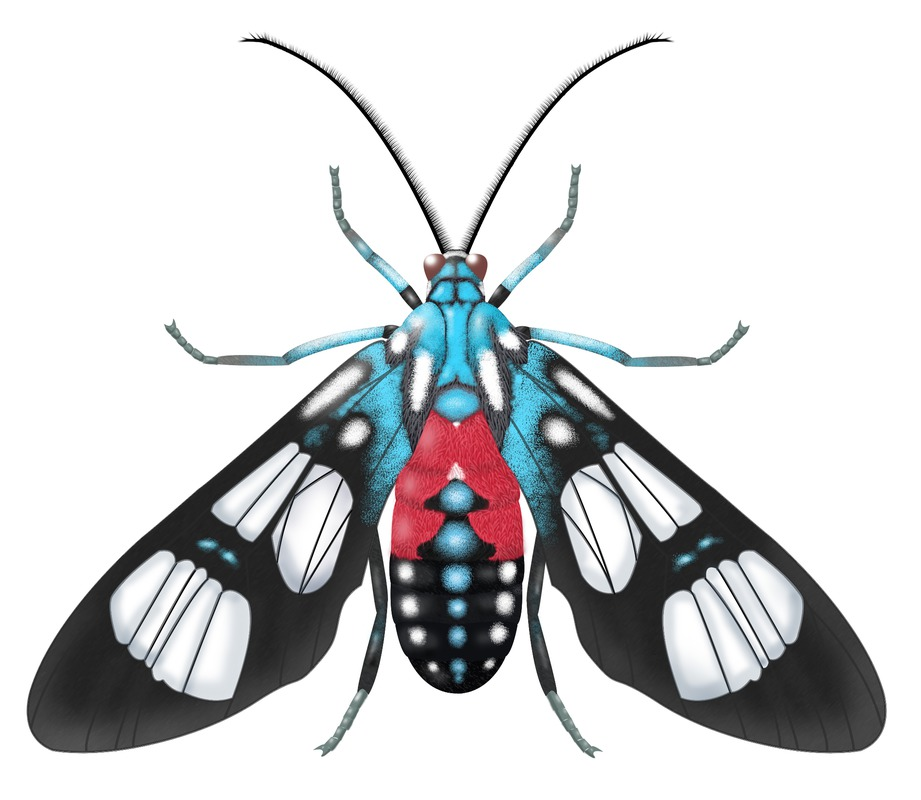 images/illustrations/australian-wasp-moth.jpg